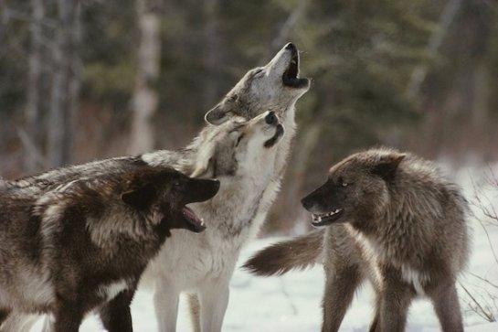 Собаки и волки генетически предрасположены к справедливости