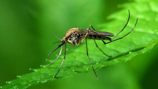 На свете комары не хотят кусаться