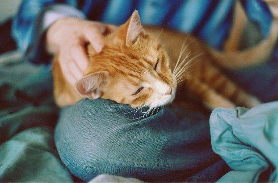 Стало известно, почему кошки любят, чтобы их гладили