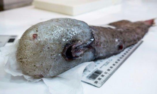 Жуткое Тасманово море: ученые поймали «безликое» чудовище