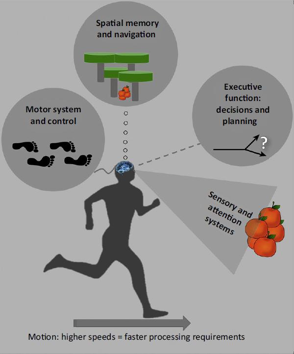 Почему аэробные тренировки так влияют на мозг: причина в эволюции - 1