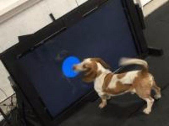 Изобретено устройство, позволяющее собакам звонить в службу спасения