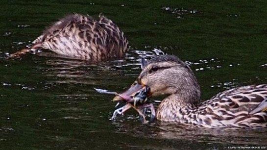 Было выяснено, что утки охотятся на других птиц