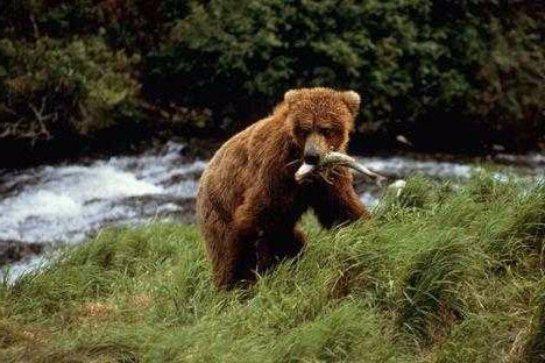 Ученые рассказали, по какой схеме мигрировали сибирские медведи