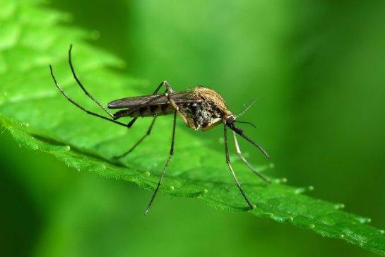 Google выпустит специальных комаров для борьбы со смертельными вирусами