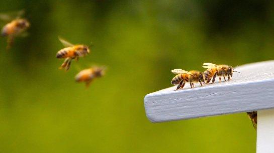 Ученые рассказали, что характерно для асоциальных пчел