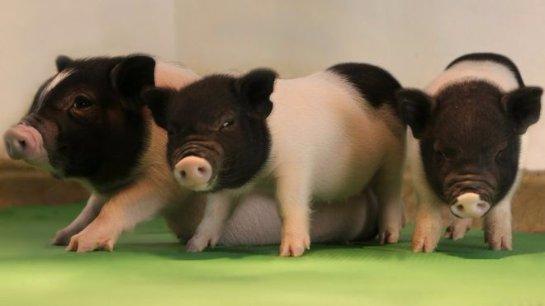Органы свиней можно будет пересаживать человеку
