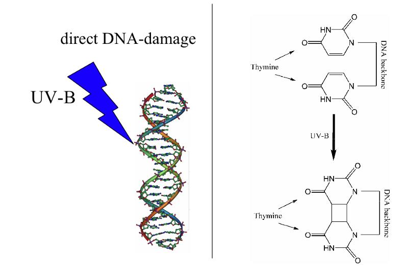 Загар — реакция организма на повреждение ДНК - 2