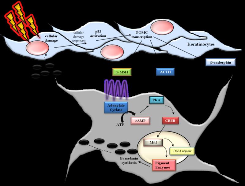 Загар — реакция организма на повреждение ДНК - 5