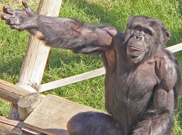 Учёные утверждают, что интеллект обезьян неправильно оценивали десятилетиями - 1