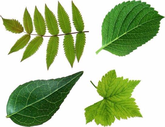 Ученые рассказали, что влияет на размер и форму листьев