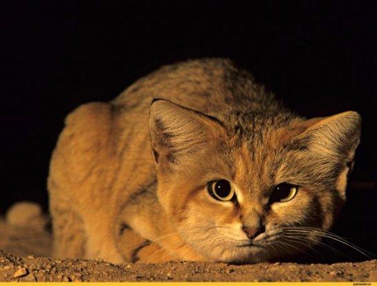 В Сахаре засняли диких бархатных кошек