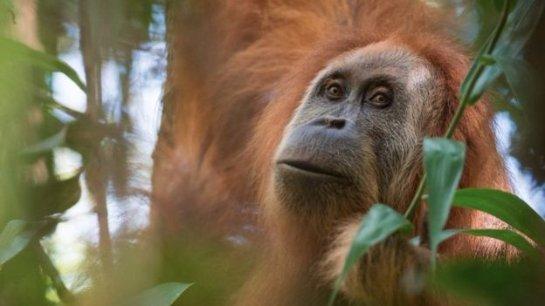 Новые виды великих обезьян обнаружили в Индонезии