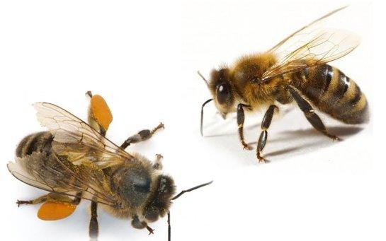 Ученые разделили пчел на правшей и левшей