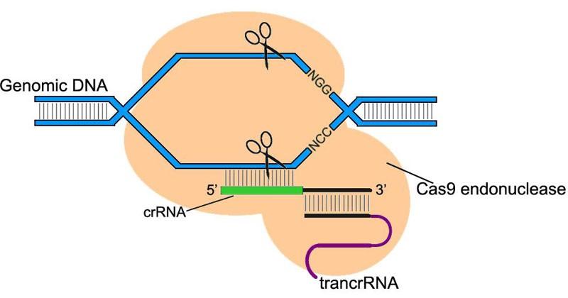 Штурм и натиск генной терапии старения - 11