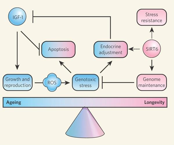 Штурм и натиск генной терапии старения - 26