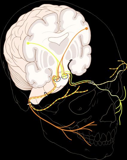 Иннервация глаза: как устроена сеть управления зрением - 2