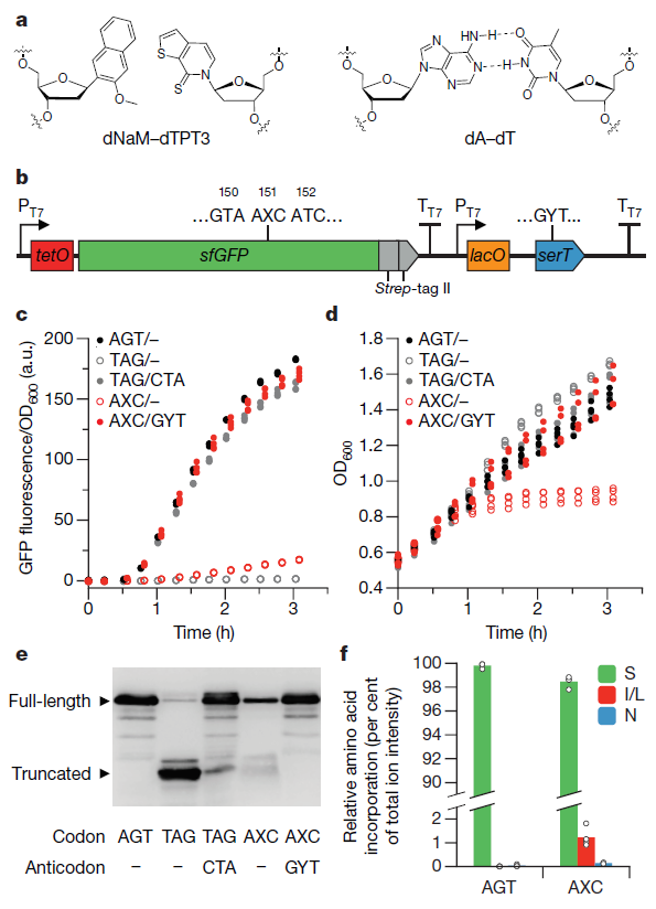 Полусинтетический организм с шестью основаниями ДНК теперь умеет размножаться - 2