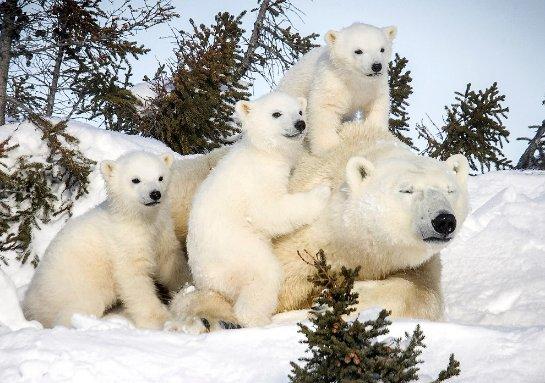 Белые медведи первым пострадают от глобального потепления