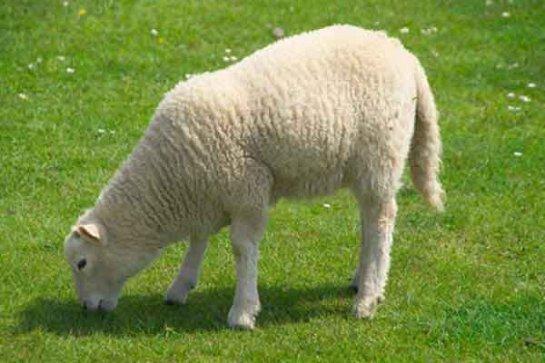 В США создали овечий эмбрион с человеческими клетками