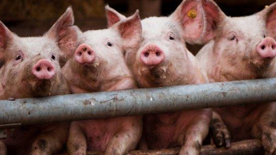 В Китае ИИ применили для слежки за свиньями