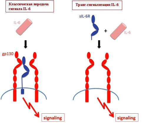 Ингибирование интерлейкина-6, как это может быть полезным? - 4