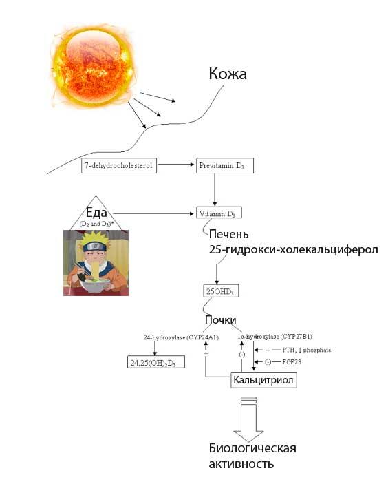 Витамин D — механизм действия и нужно ли принимать добавки (Lifext investigations) - 1