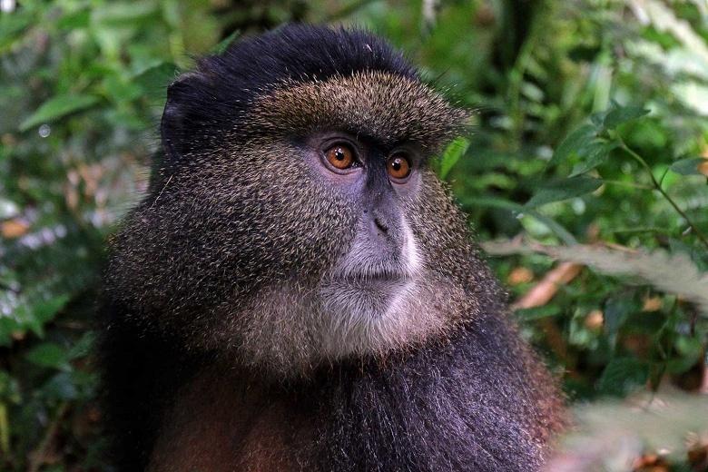 Распознавание лиц может помочь спасти вымирающих приматов