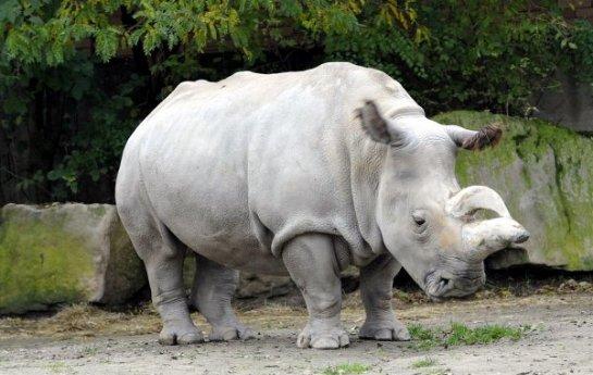 Северный белый носорог стал претендентом на клонирование