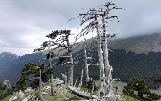 В Европе нашли дерево с рекордным возрастом