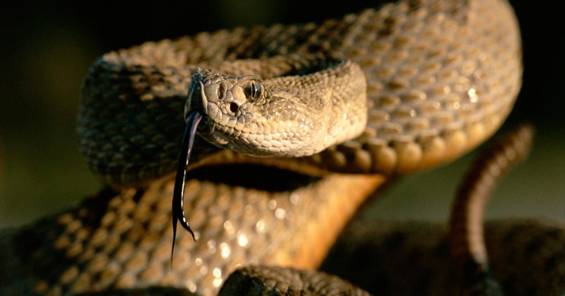 Американца укусила отрубленная змеиная голова
