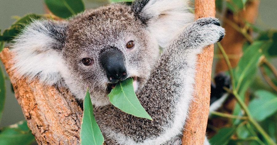 Пересадка фекалий спасет коал (и, возможно, носорогов)