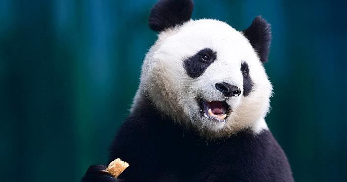 Ученые расшифровали ДНК древней панды