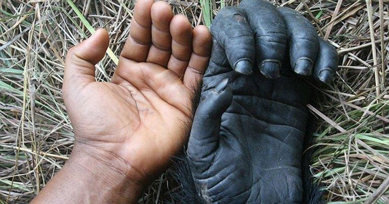 Откуда у приматов плоские ногти?