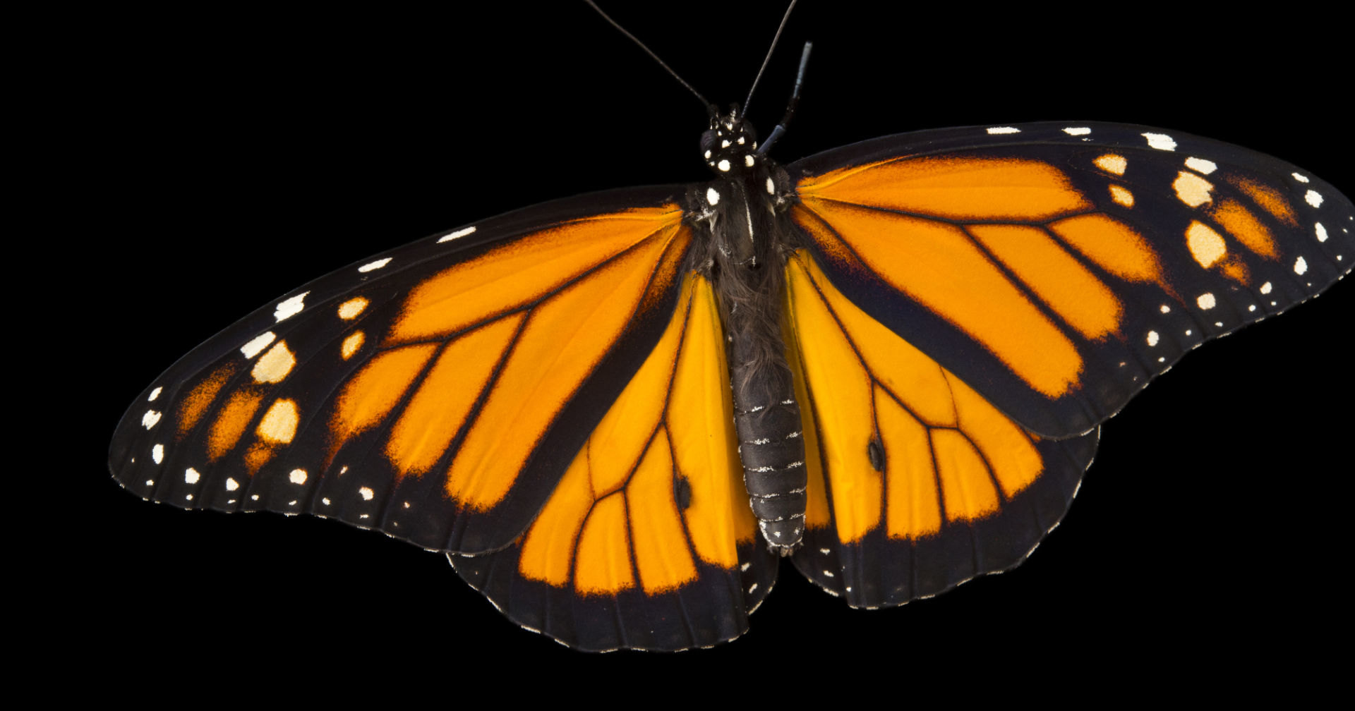 Бабочка-рекордсмен: 1000 км по ветру