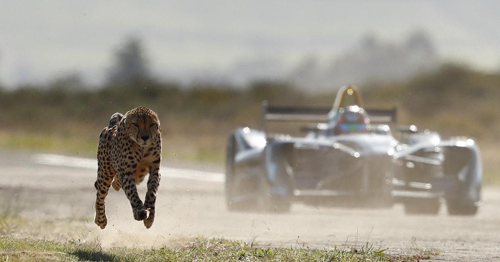 Гепард и сапсан: кто из животных самый быстрый