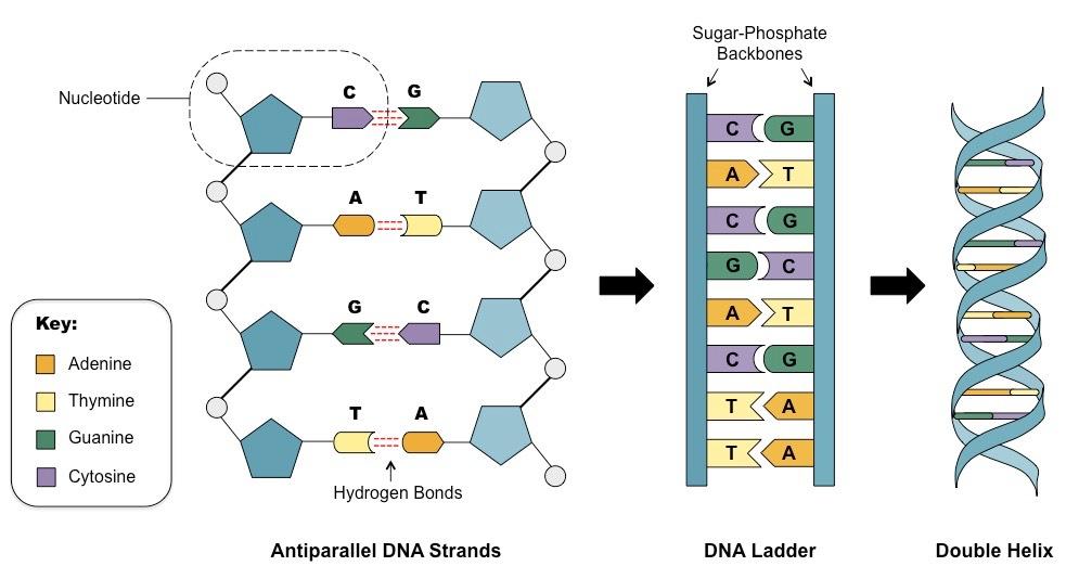 ДНК. Механизмы хранения и обработки информации. Часть I - 2