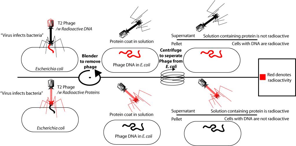 ДНК. Механизмы хранения и обработки информации. Часть II - 5