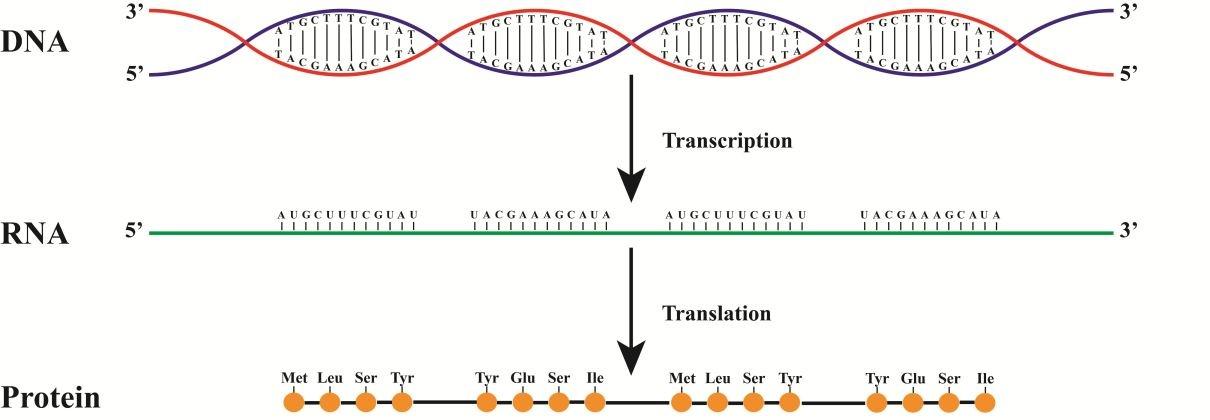 ДНК. Механизмы хранения и обработки информации. Часть II - 7