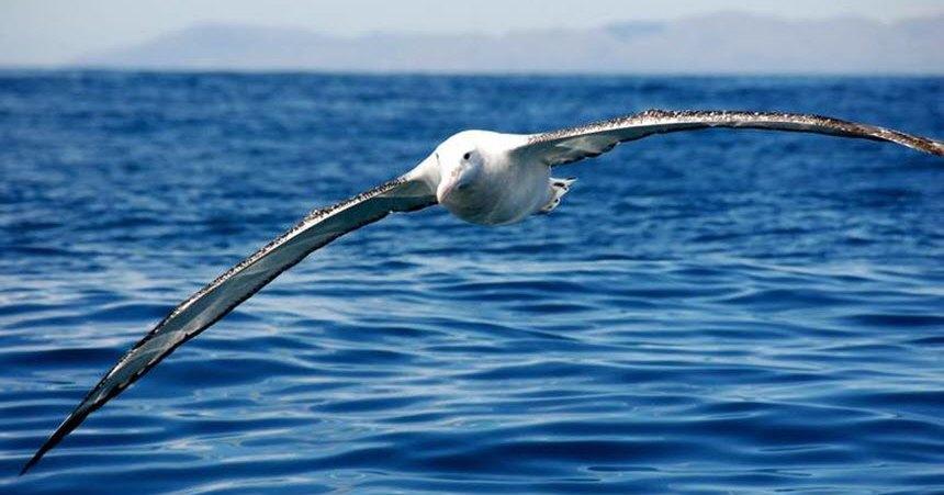 Альбатросов используют для ловли браконьеров