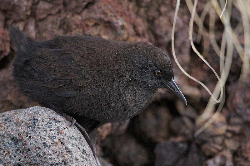 Как крошечная нелетающая птица оказалась на острове посреди Атлантики