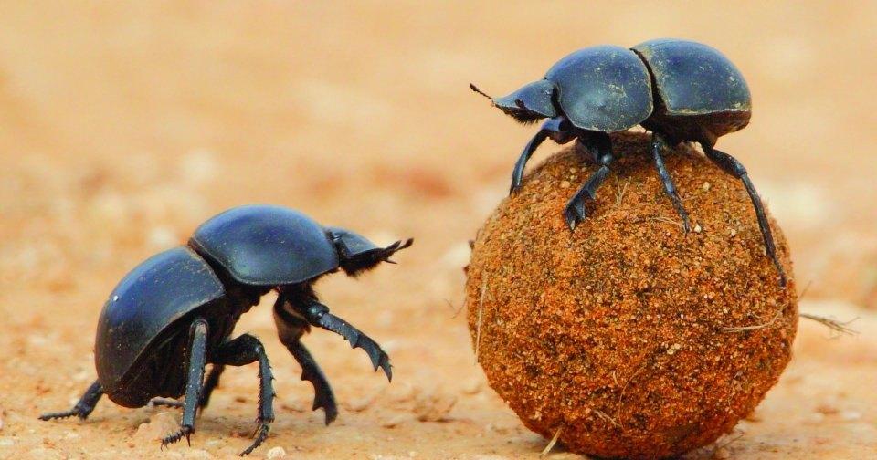 В Египте найдено захоронение жуков-навозников