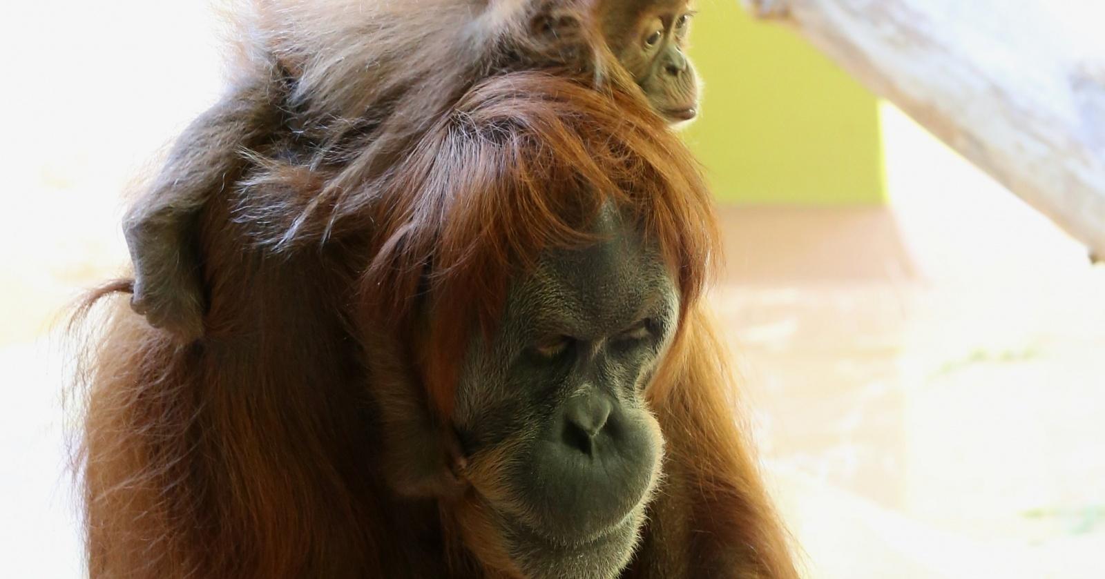 Орангутаны оказались способны «говорить» о прошлом