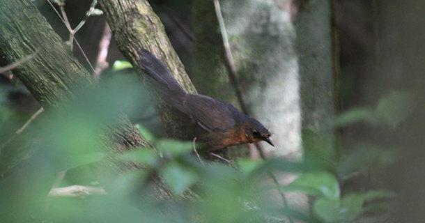 Замечена, возможно, самая редкая птица в мире