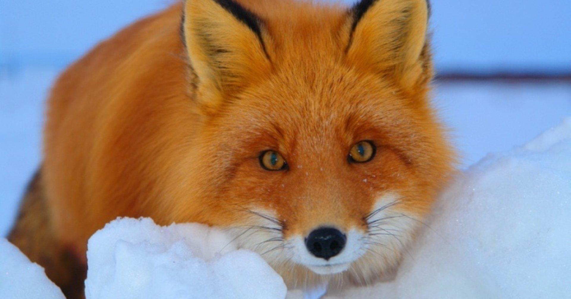 Как экскаваторщик дикую лису накормил