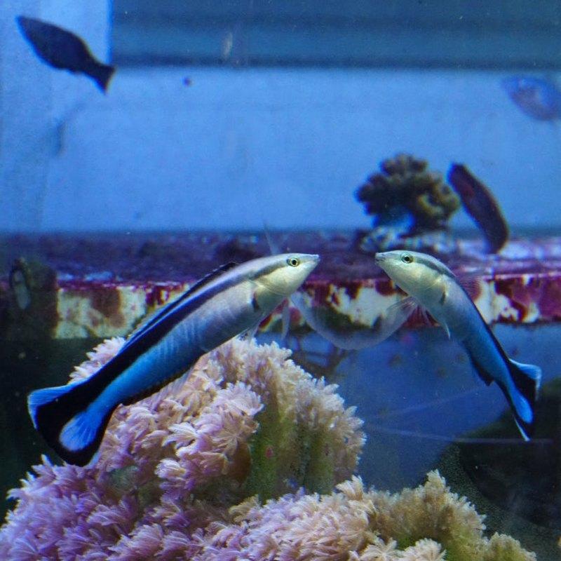 Рыбы впервые прошли зеркальный тест - 2