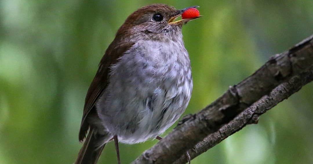 Певчие птицы уменьшились из-за глобального потепления