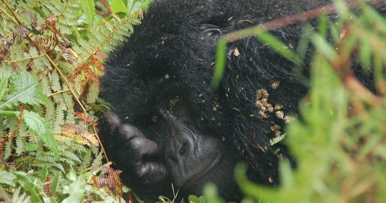 Четырех редких горилл убило молнией