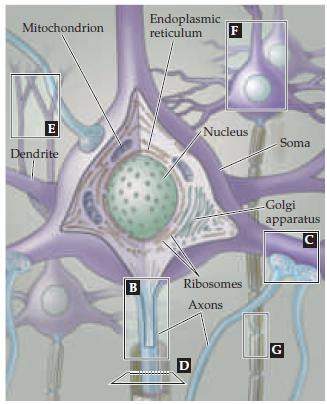Нейробиология и искусственный интеллект: часть первая — ликбез