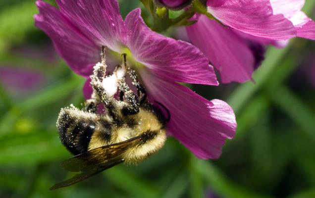 Пчёлы могут общаться через слабые электрические поля